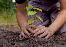Plant a Tree from Israel – Parashat Terumah