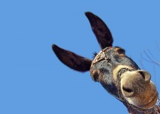 A Donkey with a History