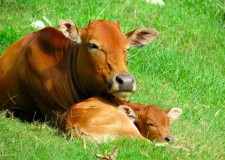 The Cow and the Calf